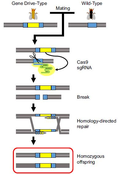 ge_0207_gene_drives_fig1.jpg